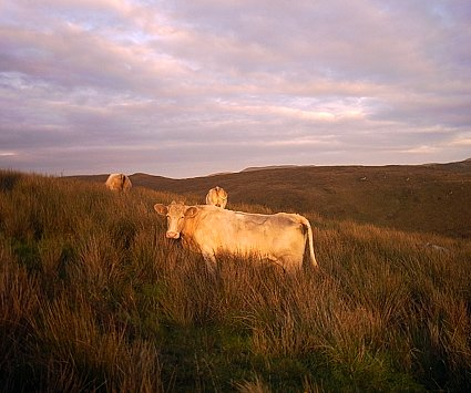 Evening cows: